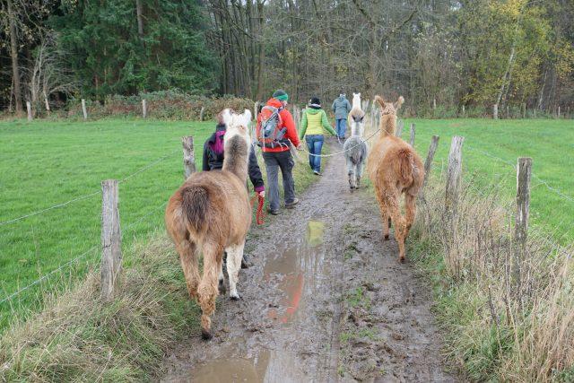 Lamas und Alpakas Schellartshof