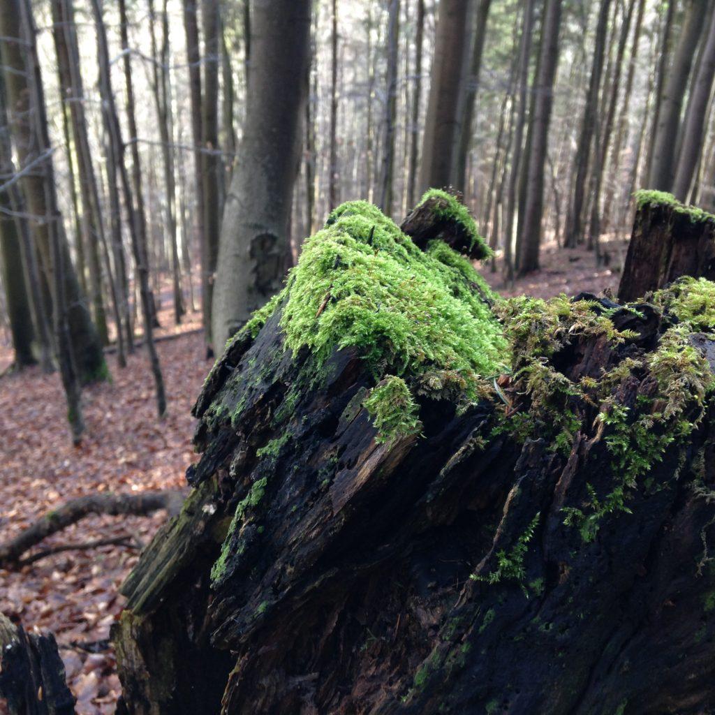 Moos im Harz